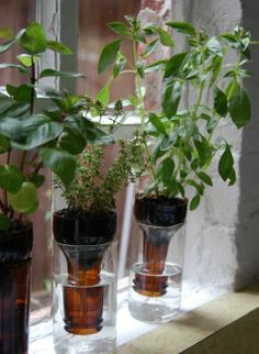 Grow Herbs in a window