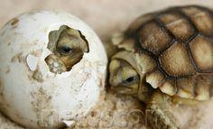 A baby Sulcata Tortoise