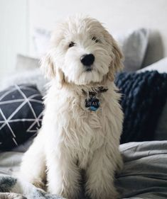 Cream Goldendoodle ! Got to get me one of these! #DogBreeds