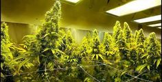 Cannabis Grow Guide Air Temperature and Humidity Air, temperature and humidity are closely linked and all are important factors in providing a good environment for your plants. Outdoor growers are at the mercy of the elements so control of the environment is limited for them, for indoor growers however things are different. Luckily the environment in your average heated house is close to the ideal conditions for cannabis growth. This makes indoor