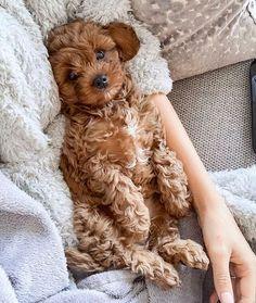 Dog Breeds Little .Dog Breeds Little Cute Baby Dogs, Cute Little Puppies, Cute Dogs And Puppies, Cute Baby Animals, I Love Dogs, Funny Animals, Doggies, Puppy Cuddles, Snuggles