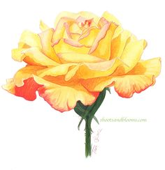 Yellow rose with orange and redish tips. Watercolor painting by Teri Farrell-Gittins at Shootsandblooms.com