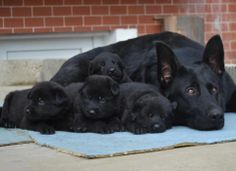 Mama and her babies - the middle pup reminds me of my blues as a pup