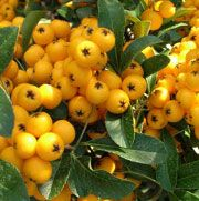 Pyracantha Soleil dOr firethorn soleil dor Care Plant Varieties & Pruning Advice Fasion, How To Find Out, Fruit, Plants, Fashion, Plant, Planets