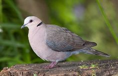 Spotted at Afton Grove - Red-Eyed Pigeon Red Eyes, Bird Watching, Pigeon, Beautiful Birds, Pet Birds, Habitats, Wings, African, Craft Ideas