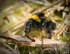 Garden Bumblebee (Bombus Hortorum) resting in the sun - identifiable by yellow stripes, white tail and exceptionally long tong.