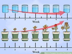 How to Propagate Succulent Plants from cuttings. Step by step instructions  including watering