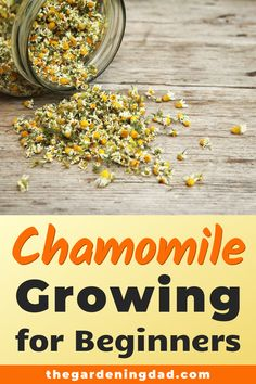 Learn How to Grow Chamomile with these beginner friendly tips tricks and ideas for indoors pots and outdoor gardening! Learn How to Grow Chamomile with these beginner friendly tips tricks and ideas for indoors pots and outdoor gardening! Herb Garden Design, Diy Herb Garden, Garden Fun, Indoor Garden, Growing Herbs, Growing Flowers, Hydroponic Gardening, Organic Gardening, Vegetable Gardening