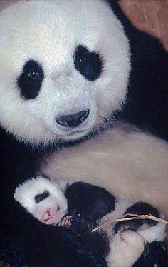 Panda Mama & BabyBaby