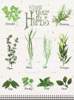 Know your herbs! - Illustration by Svabhu Kohli - BBC Good Food India
