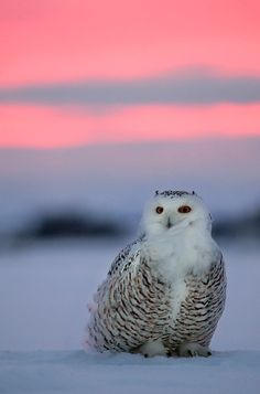 Owl at Sunset by~Ian-Plant