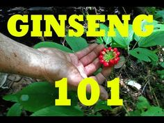 Forest farmer, Dave Carmen, demonstrates how to stratify ginseng seed. Unlike many plants, ginseng seed requires two winters before it will germinate. In ord...