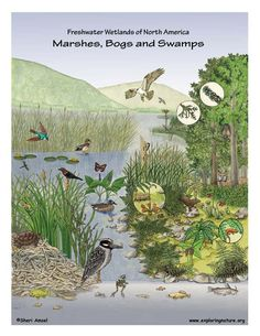Environments/Ecosystems: Marshes, Swamps and Bogs Ecosystems Projects, Frog Life, Science Illustration, Animal Posters, Biomes, Environmental Science, Animal House, Science Nature, Habitats