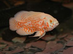 Stocking an aquarium can be quite the challenge with all the beautiful specimens in the pet store and the amount of conflicting info online. Tropical Freshwater Fish, Tropical Fish Aquarium, Home Aquarium, Saltwater Aquarium, Freshwater Aquarium, Fish Aquariums, Saltwater Tank, Oscar Fish, Fish Home