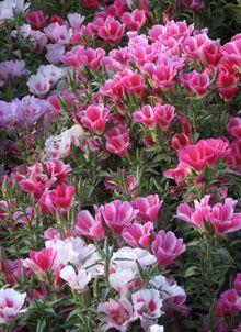Clarkia amoena - Godetia - Dwarf Double Azalea Flowered Mix.