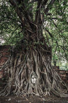 Buddha tree. - Tree Buddha, Ayutthaya Thailand 2013