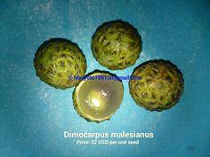Dimocarpus malesianus