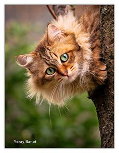 Orange Cat ~ The Look | Flickr: Intercambio de fotos