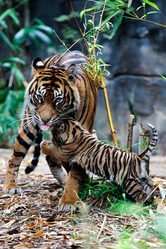 Amazing wildlife - Tiger and cub photo I Love Cats, Big Cats, Cats And Kittens, Cute Baby Animals, Animals And Pets, Wild Animals, Animal Babies, Beautiful Cats, Animals Beautiful