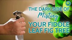 Many fiddle leaf fig owners mist their plants believing it helps to raise the humidity. It also gives plant lovers a sense that they are doing something good and taking care of their plants. But, does misting help or harm your plant? Learn more about what misting can do to your fiddle leaf fig along with safer ways to increase humidity around your plants as well as how to best clean fiddle leaf fig leaves. Types Of Houseplants, Fiddle Leaf Fig Tree, Fig Leaves, Plant Care, Dark Side, Mists, The Darkest, Something To Do, How To Find Out
