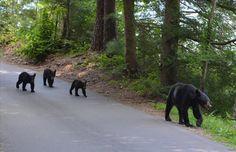 Enjoying the black bears of Cades Cove, Great Smoky Mountains National Park, TN