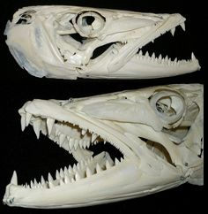 Crâne de Grand Barracuda / Great Barracuda Skull (Sphyraena barracuda) by JC-Osteo on Flickr.