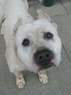 """((SUPER URGENT)) - Brooklyn Ctr    """"MAX"""" - A0995378   Male, White, Pit Bull mix, 7 yrs old. OWNER SUR - Reason LLORDPRIVA  Intake cond. GERIATRIC Intake Date 04/01/14, DueOut Date 04/01/14 https://www.facebook.com/photo.php?fbid=781350655211149&set=a.617941078218775.1073741869.152876678058553&type=3&theater ++SWEET+++FRIENDLY + UNDERWEIGHT++++PLS HELP SAVE THIS BABY!"""