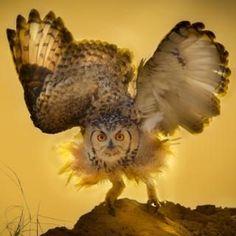 A pharaoh owl