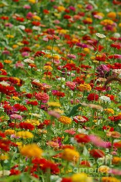 Zinnias as far as thee eye can see