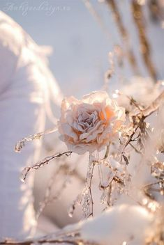 This is so tremendously beautiful ~ Snow Rose
