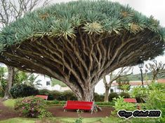 Dragon tree - Faial island (Azores, Portugal)