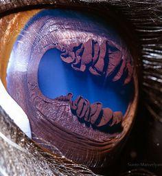 A llama's eye: