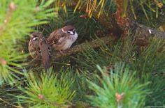 House sparrow by Norbert Kamiński on YouPic House Sparrow, Photos, Animals, Pictures, Animales, Animaux, Animal, Animais