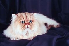 When the Himalayan breed was created, it came only in four colors: seal, chocolate, blue and lilac. After flame and tortie point colors were added, however, the Himalayan developed a palette of 20 possible colors! But don't worry-- identifying your kitten's color is not as daunting as it first seems.