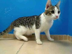 URGENT! ON WED., 6/5/13 EUTHANASIA LIST!!! CALLING ALL ANGELS!!! Lita was adopted but was returned because of her injuries. 17 month old LITA needs out of NYCACC NOW!!! Brooklyn Center  My name is LITA. My Animal ID # is A0954839. I am a spayed female br tiger and white br tiger. The shelter thinks I am about 1 YEAR 5 MONTHS old.  I came in the shelter as a STRAY on 06/02/2013 from NY 11691, owner surrender reason stated was STRAY.