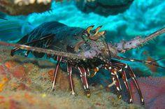 lobster underwater   - Costa Rica