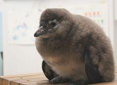 Elmer, the African penguin chick