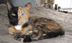 """Venus, the Beautiful """"Two-Faced"""" Cat (Photos) - note the one gold eye and one blue eye."""
