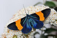 Milionia pulchrinervis photographed by Ngangom Aomoa at Shillong, Meghalaya, India