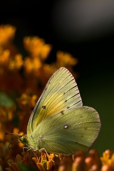 Pink-edged Sulphur (Colias interior) is a species of North American butterfly in the Pieridae family.