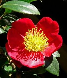 Camellia Yuletide Features Dense Glossy Green Leaves Bright Red Flowers With Yellow Stamens And Can Get To Tall In Australia This Variety Of