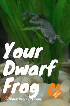 Frogs - Give Your African Dwarf Frog The Best Tank Ever! African Frogs, Dwarf Frogs, Frog Tank, Pet Frogs, Dog Organization, Pet Fish, Aquarium Fish, Aquarium Ideas, Cool Tanks