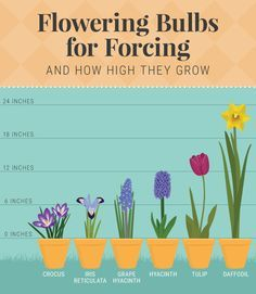 Forcing Bulbs: Recreate Nature In Your Home Flowering Bulbs For Forcing - Forcing Bulbs Garden Bulbs, Planting Bulbs, Garden Plants, Indoor Plants, House Plants, Planting Flowers, Fruit Garden, Flowers Garden, Crocus Bulbs