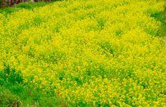 2015/4/12 奈良県明日香村 PENTAX K30