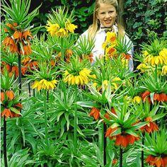 PapageiGladiolenMischung 20 Zwiebeln Gladiolus