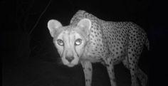 животные фотоловушку - Поиск в Google