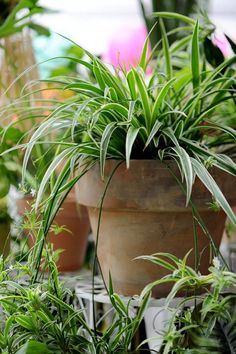 Chlorophytum, Plants, Therapy, Plant, Planting, Planets