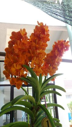 An update on Orchid Show in Penang Flora fest Organized by: Federation of Malaya Orchid Society (FOMOS) Sponsored by: Penang St. Rare Orchids, Rare Flowers, Flowers Nature, Exotic Flowers, Amazing Flowers, Beautiful Roses, Beautiful Flowers, Orchids Garden, Orchid Plants