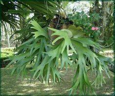 chifre de veado. blog terracotajardinagem.com.br