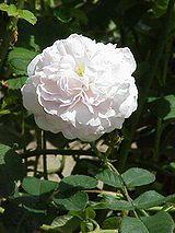 Garden roses - Wikipedia, the free encyclopedia